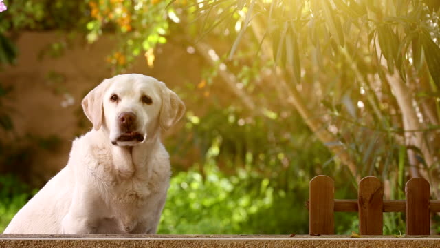 waiting senior labrador dog in the garden video