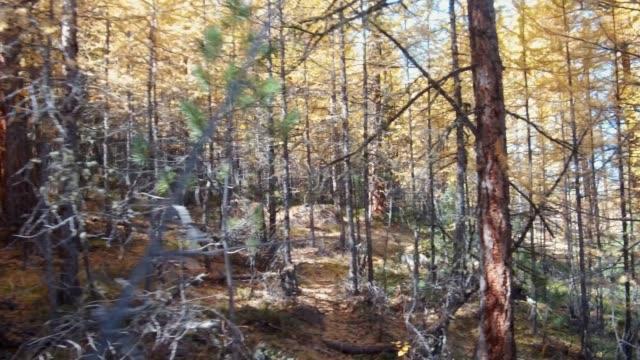 Walk through a yellow larch taiga forest in autumn season on the mountain Altai video