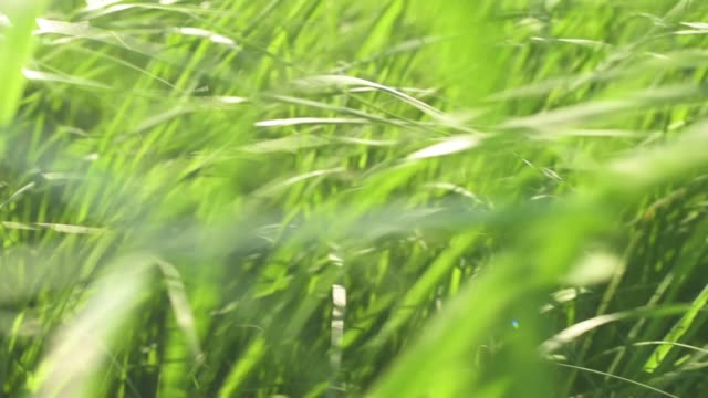 Walk Through Native Midwest Prairie Grasses In Slow Motion video