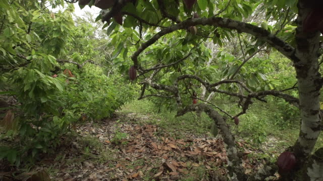Walk through shot of cacao trees in Brazil