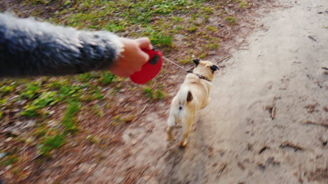 Walk your favorite pet - a dog of the Pug breed. Fun 3-axis stabilized pov video A woman digs up a dog - a favorite pug. Walking in the forest or park along the path the dog runs on a leash leash stock videos & royalty-free footage