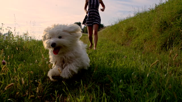 slo mo a piedi un cane - bichon frisé video stock e b–roll
