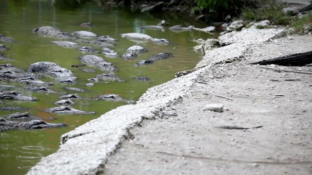 stockvideo's en b-roll-footage met walking alligators - reptiel