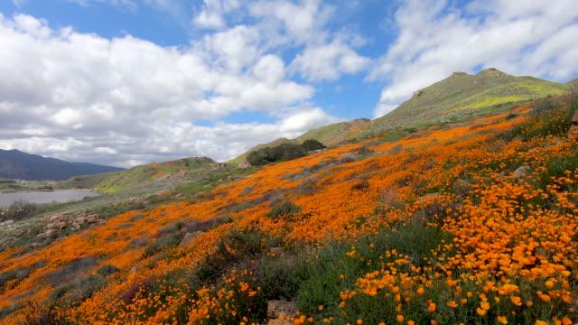 promenader mellan california golden poppy och goldfields blommar i walker canyon, lake elsinore, kalifornien, usa - blommönster bildbanksvideor och videomaterial från bakom kulisserna