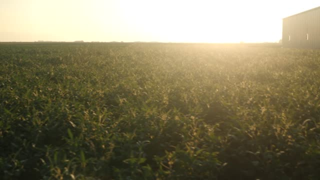 POV walking by soybean field video