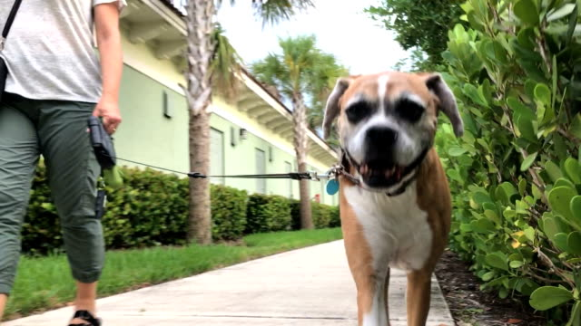 Walking Dog Woman walking dog in the community leash stock videos & royalty-free footage