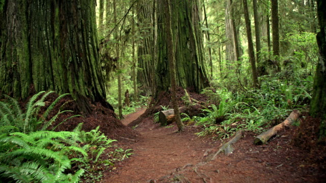 Walking Down a Path Giant Redwood Trees