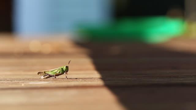 Walking Grasshoper video