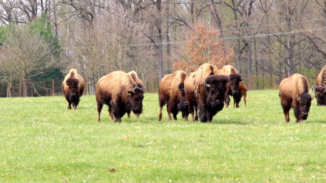 Walking herd of American buffalo bison on grass pasture