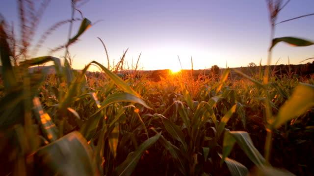 Walking in the Corn Field video
