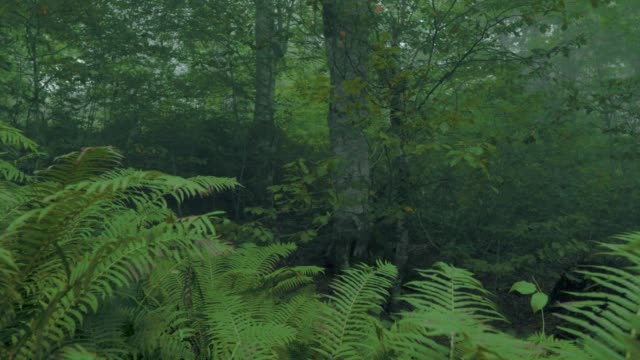 Walking in the foggy green forest