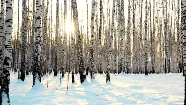 vídeos de stock, filmes e b-roll de caminhando na floresta de bétulas de inverno - bétula