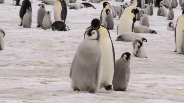 ходьба пингвин семьи - молодое животное стоковые видео и кадры b-roll