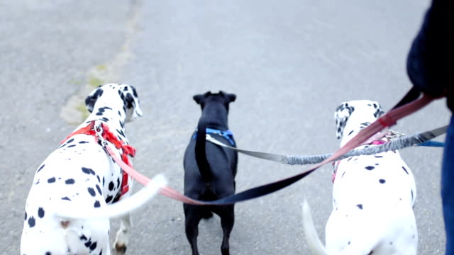 Walking the Three Dogs on their Leash Three dogs on their leash walking along the street in a row group of animals stock videos & royalty-free footage