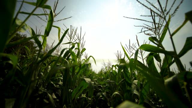 walking through a cornfield looking at the sun. - kukurydza zea filmów i materiałów b-roll