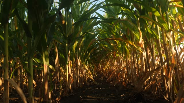Walking through a cornfield POV video