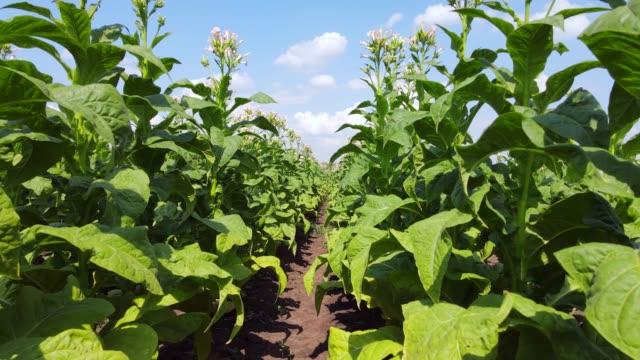walking through a field of tobacco - nicotina video stock e b–roll