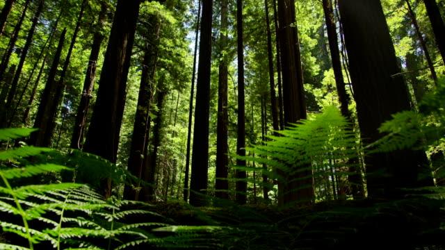cammina attraverso il fitto felci e alberi nella foresta di redwood. - yeti video stock e b–roll