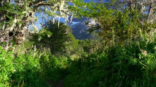 passeggiando nella foresta verde nel parco nazionale del cerro tronador. argentina, patagonia, distretto dei lacuri. uhd, 4k - argentina america del sud video stock e b–roll