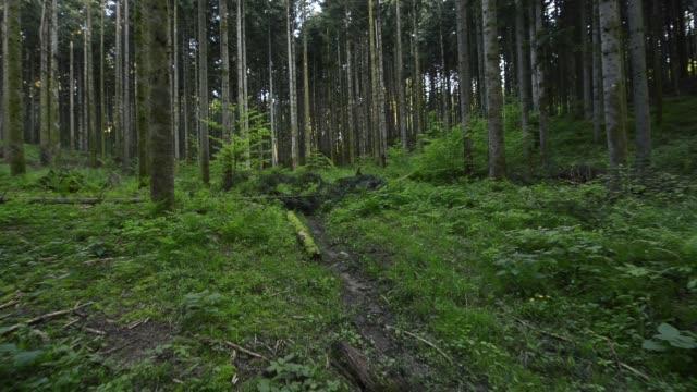 松の木の森を歩く - 叙情的な内容点の映像素材/bロール