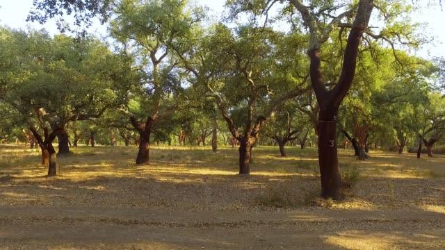 Walking Through Plantation of Cork Oak Trees video