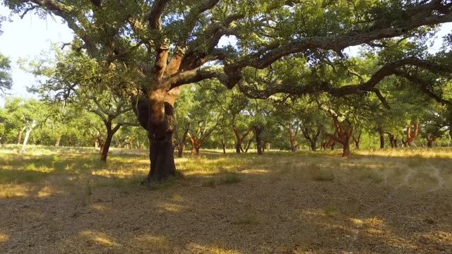 Walking Through Plantation of Cork Oak Trees video