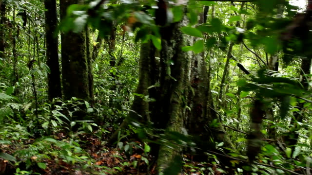 Walking to a buttressed rainforest tree video