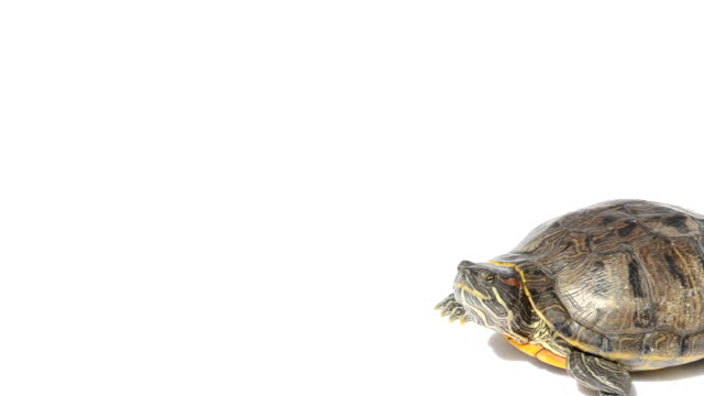 Walking turtle Red eared slider turtle walking across white background from right to left. turtle stock videos & royalty-free footage