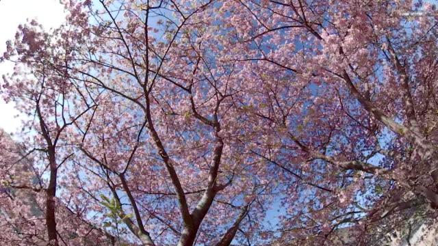川津桜の下を歩く - 各国の観光地点の映像素材/bロール