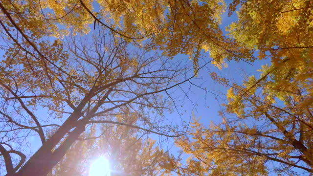 Walking under the tree of colored leaves -4K- Walking under the tree of colored leaves -4K- ginkgo tree stock videos & royalty-free footage