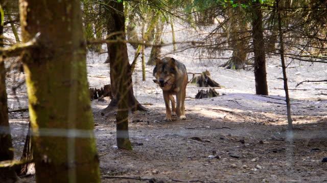 camminare lupo - soltanto un animale video stock e b–roll