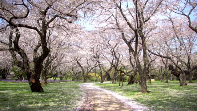 vídeos de stock, filmes e b-roll de passarela sob a árvore de sakura, que é a atmosfera romântica cena no japão - cerejeira árvore frutífera
