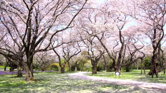 vídeos de stock, filmes e b-roll de passarela sob a árvore de sakura, que é a atmosfera romântica cena em tóquio no japão - cerejeira árvore frutífera