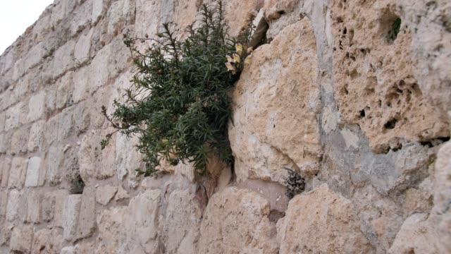 A wall made of Jerusalem stone and a bush on it. Close-up. The old city of Jerusalem. Israel