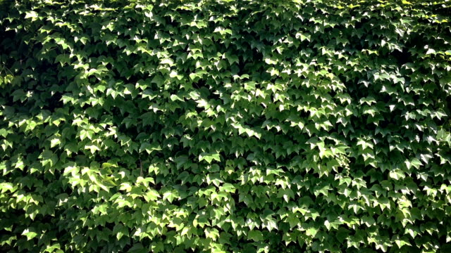 Wall Overgrown by Leaves. video