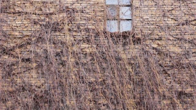 vídeos de stock e filmes b-roll de wall with ivy and window is fabulous exterior bush - ivy building