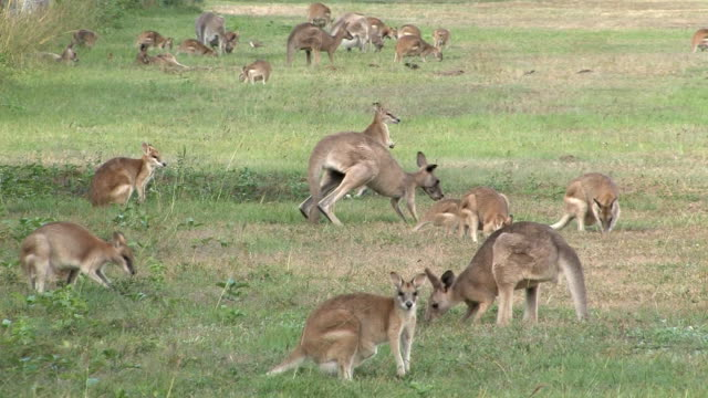 Wallabies Large mob of Wallabies grazing in outback Queensland, Australia kangaroo stock videos & royalty-free footage
