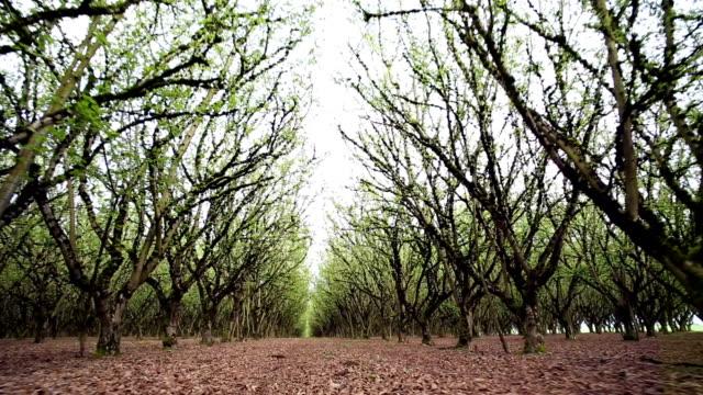 Walnut Orchard video