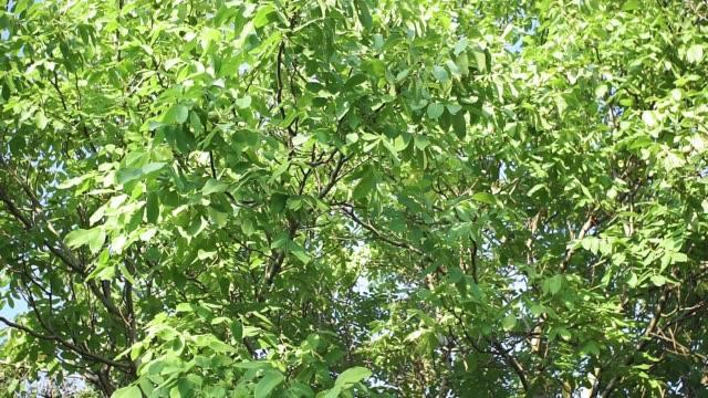 valnötsträd. gröna valnötter på trädgrenen i trädgården. valnötter på grenen. - skrov bildbanksvideor och videomaterial från bakom kulisserna