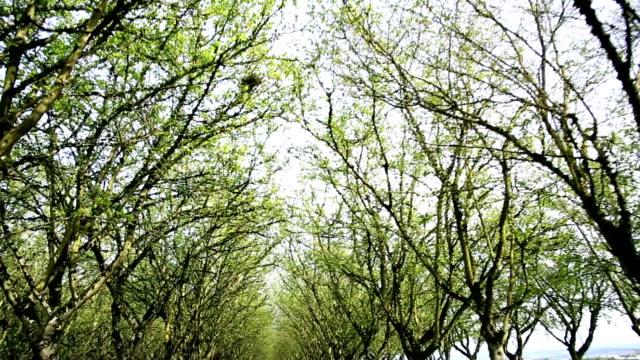 Walnut Tree video