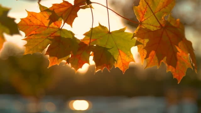 CLOSE UP: Warm breeze moves a small branch and colorful turning leaves at sunset