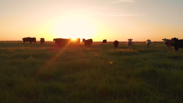lens flare warm evening sun shines on herd of cows grazing in grassy countryside - ранчо стоковые видео и кадры b-roll