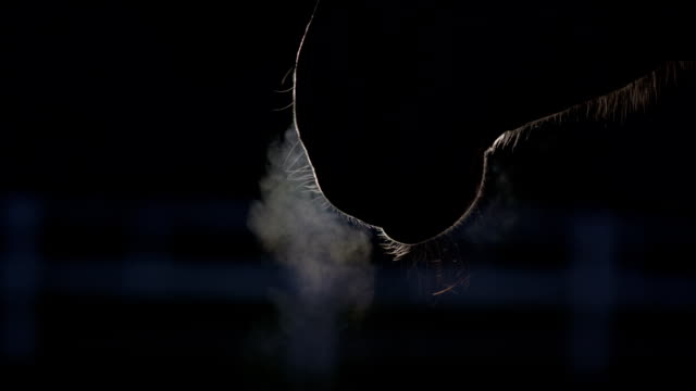 close up: warm steam coming out form horse's nostrils as he blows out air - лошадиные стоковые видео и кадры b-roll