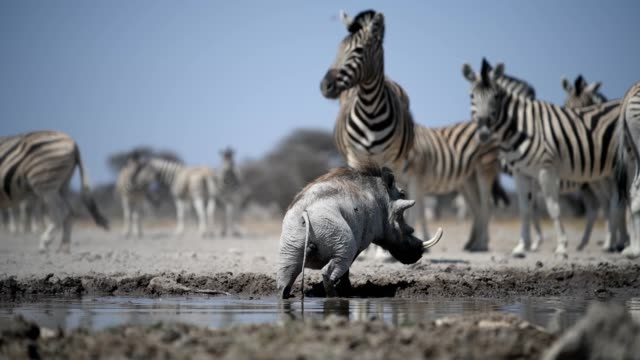 Warthog and Zebra a Warthog drinks and wallows in the mud at a waterhole in Southern Africa waterhole stock videos & royalty-free footage