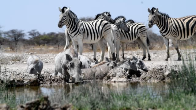Warthog and Zebra Warthogs drink and wallow in the mud at a waterhole in Southern Africa waterhole stock videos & royalty-free footage