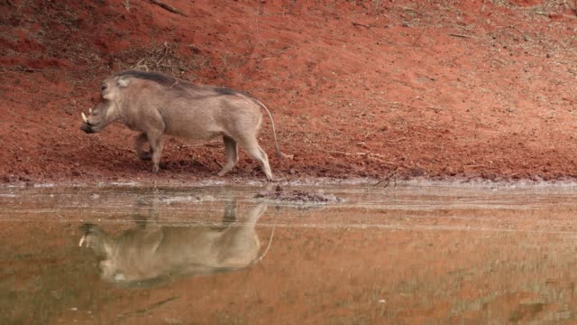 A warthog drinking at a waterhole, Mokala National Park, South Africa A warthog (Phacochoerus africanus) drinking at a waterhole, Mokala National Park, South Africa waterhole stock videos & royalty-free footage