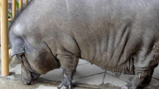 warthog drinking water on the floor