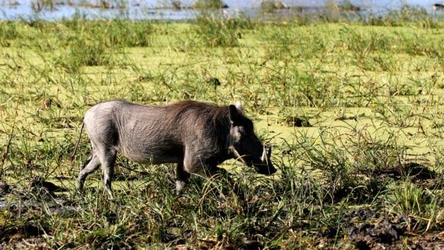 Warthog in Moremi, Botswana Africa safari wildlife