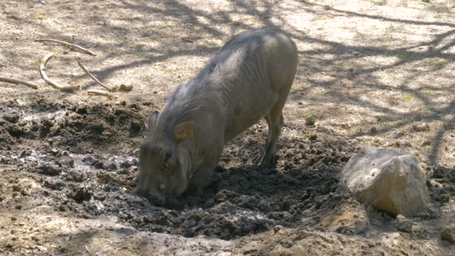 Warthog is digging the earth in the savannah