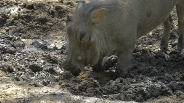 Warthog using nose to dig in african savannah video